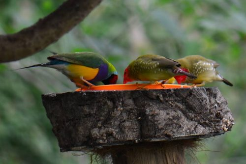 Yellow Star Finch Birds by Name �...