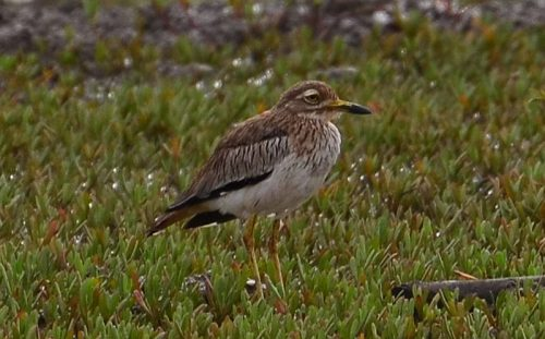 Senegalese Thick-knee