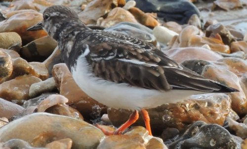Turnstone 1, sized