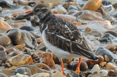 Turnstone 2, sized