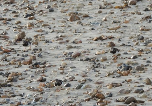 Turnstones on the beach 1, sized