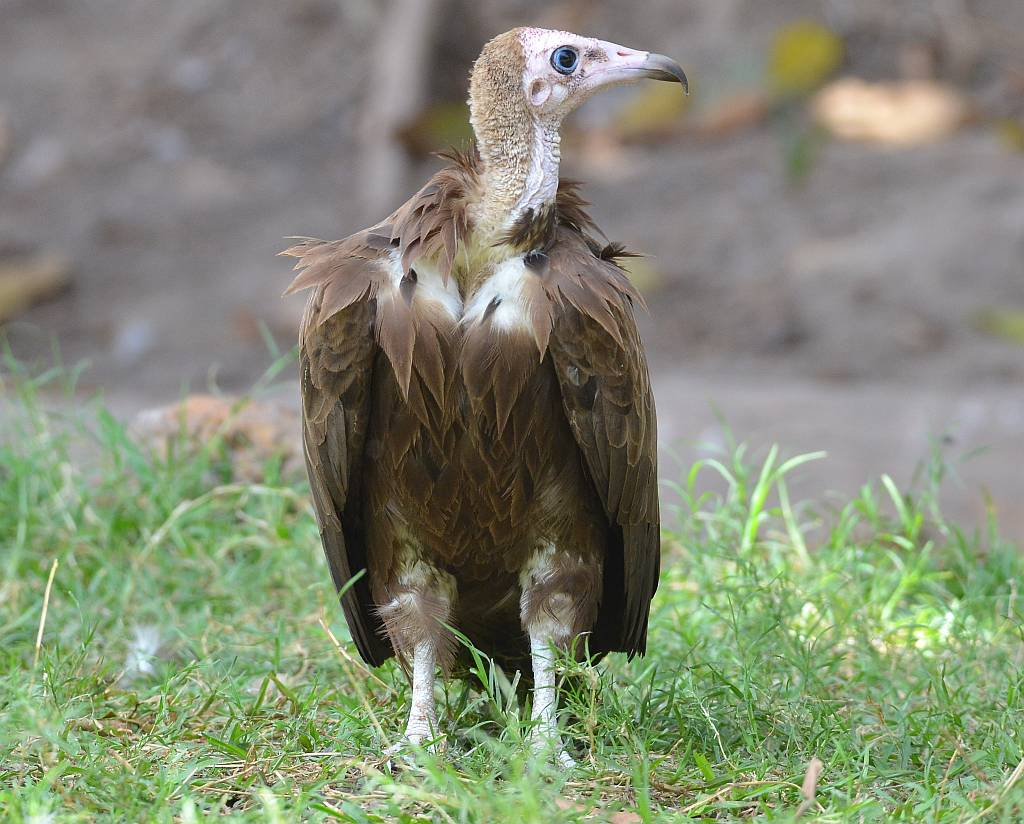 The Hooded Vulture, Necrosyrtes monachus | | Nature
