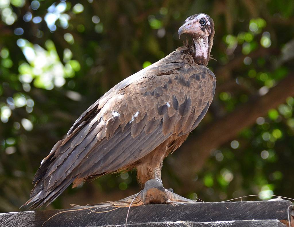 The Hooded Vulture, Necrosyrtes monachus – Nature