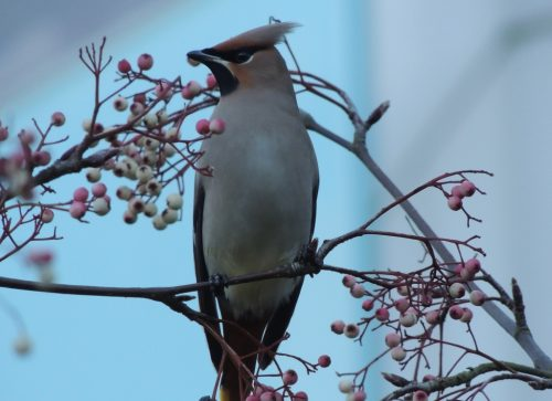 Waxwing 4, sized