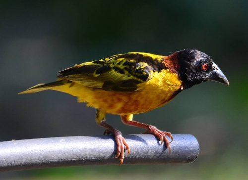 Village Weaver, breeding plumage