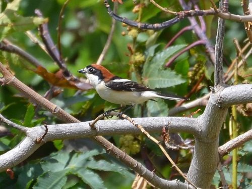 Woodchat Shrike female