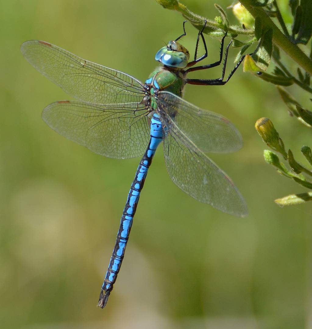 Emperor Dragonfly by t...