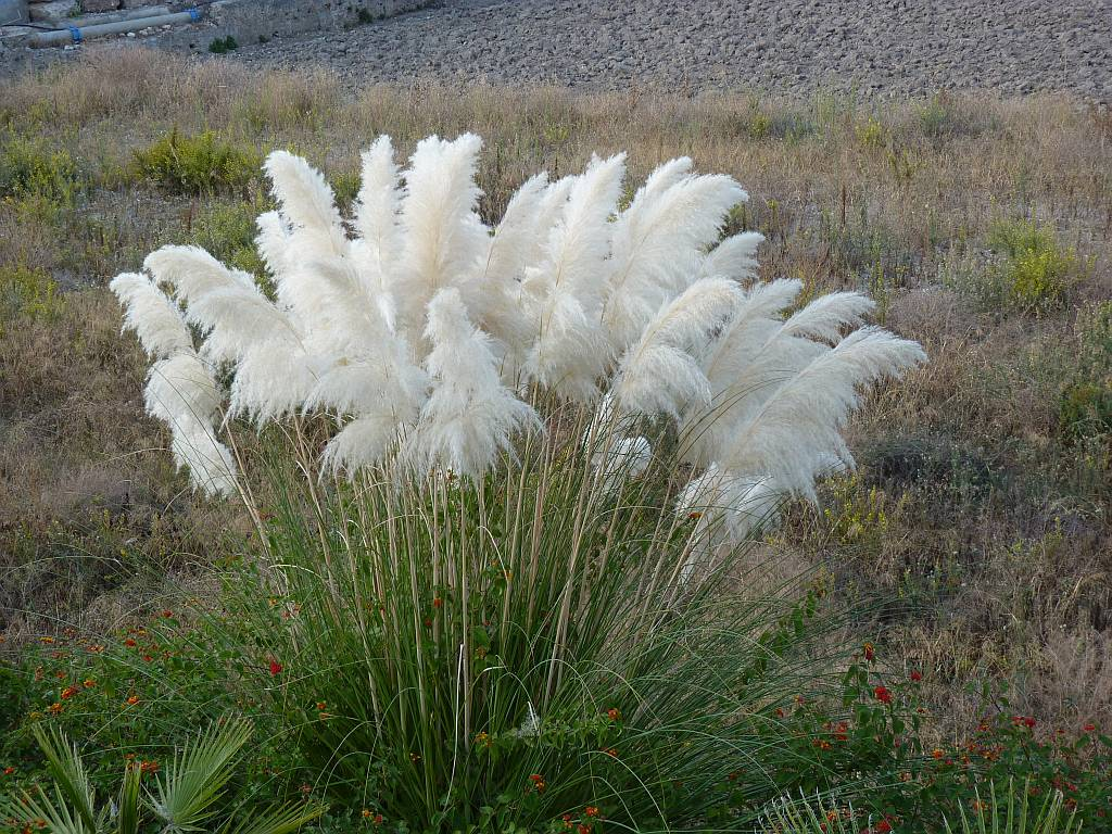 Pampas grass nature for White ornamental grass