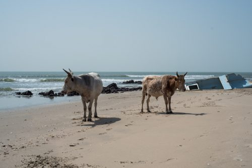 cow, Gambia