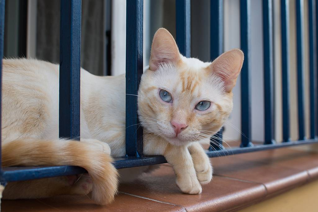 Blue-eyed cat, Nerja