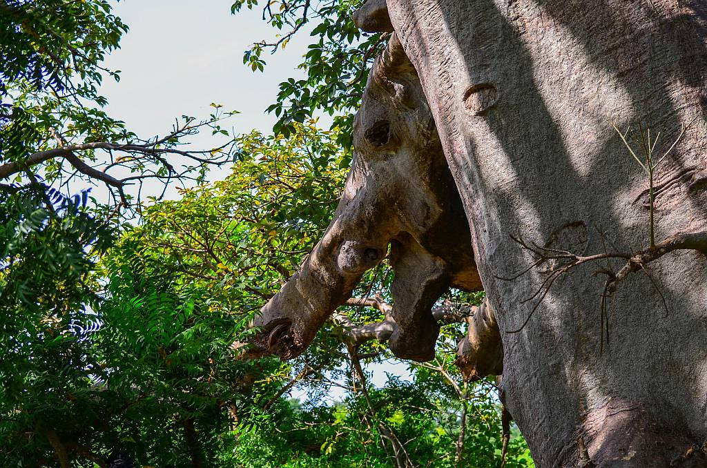 Elephant Tree, Lamin Lodge, The Gambia