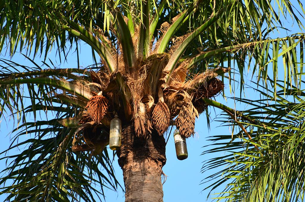 Bottles in Palm Tree, The Gambia